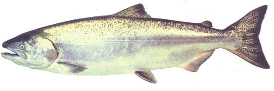 Photo of chinook salmon in marine phase