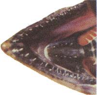 Close up photo of chinook salmon jaw