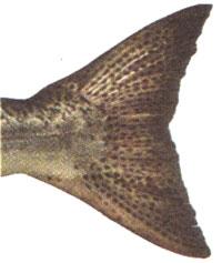 Close up photo of chinook salmon tail