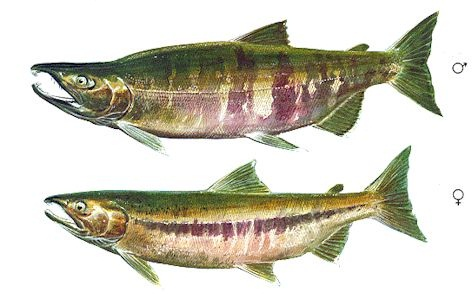 a look at the different classification of dogfish A look at sharks found off delaware crabs, small fish and razor clams the dogfish is olive gray or brown on top and yellow or grayish white below.