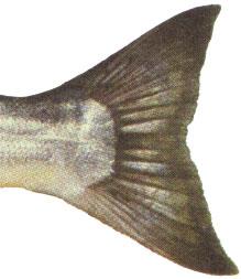 Close up photo of coho tail